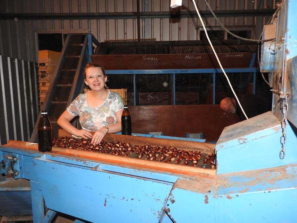 Carly-helping-on-chestnut-quality-control