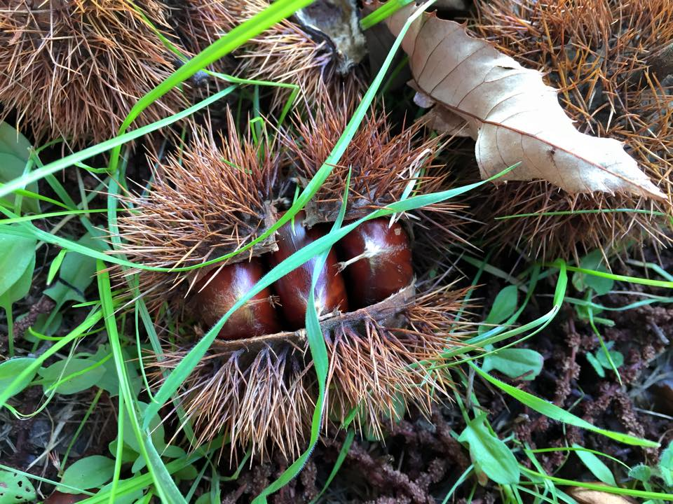 Chestnuts-in-the-husk-May-2015