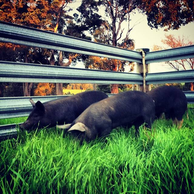 First-pigs-arrive-at-Chestnut-Brae-4-May-2015