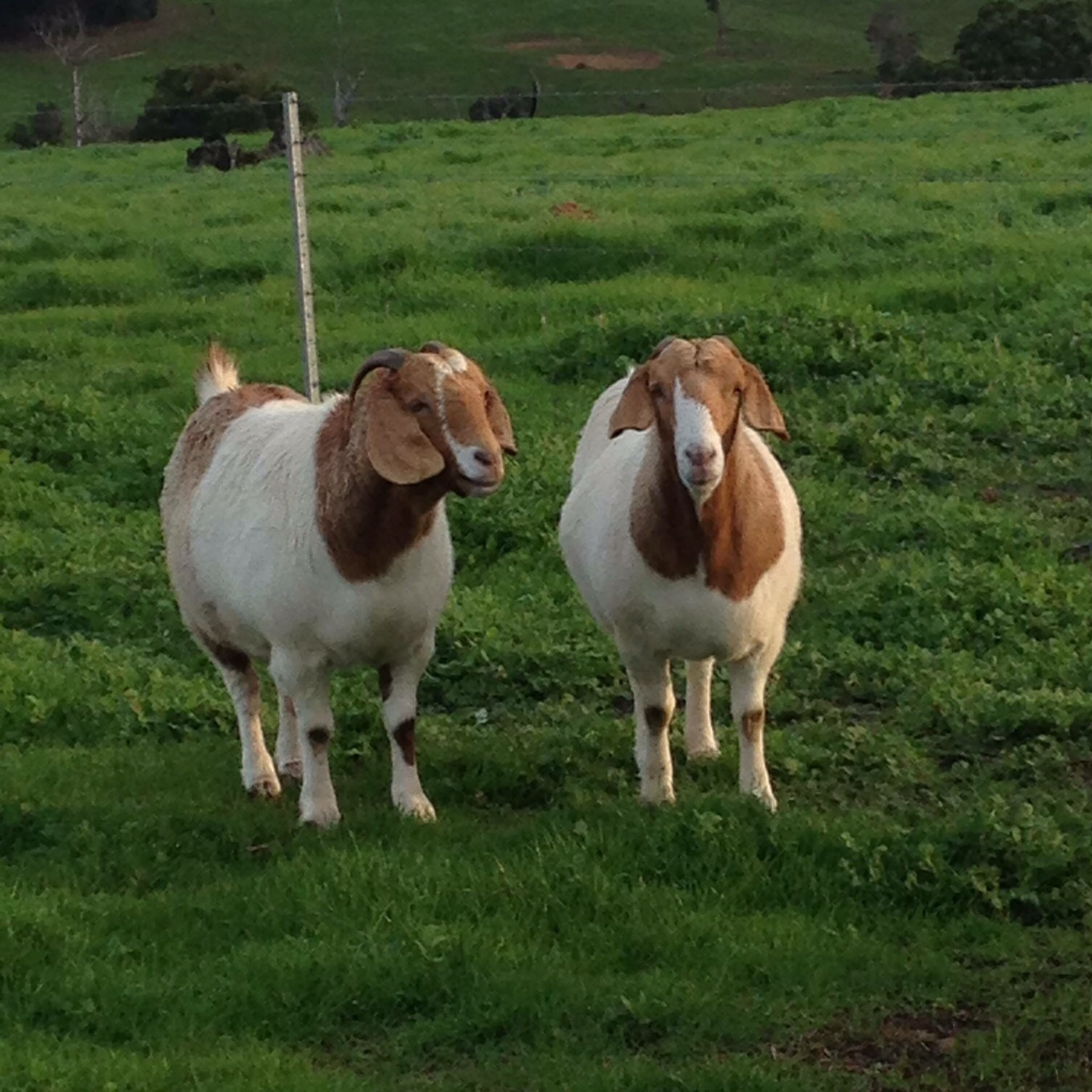 Two-fat-goats
