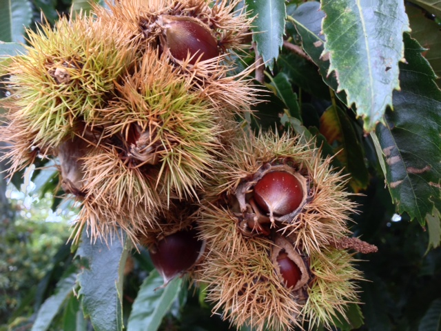 chestnuts-in-the-husk-on-the-tree