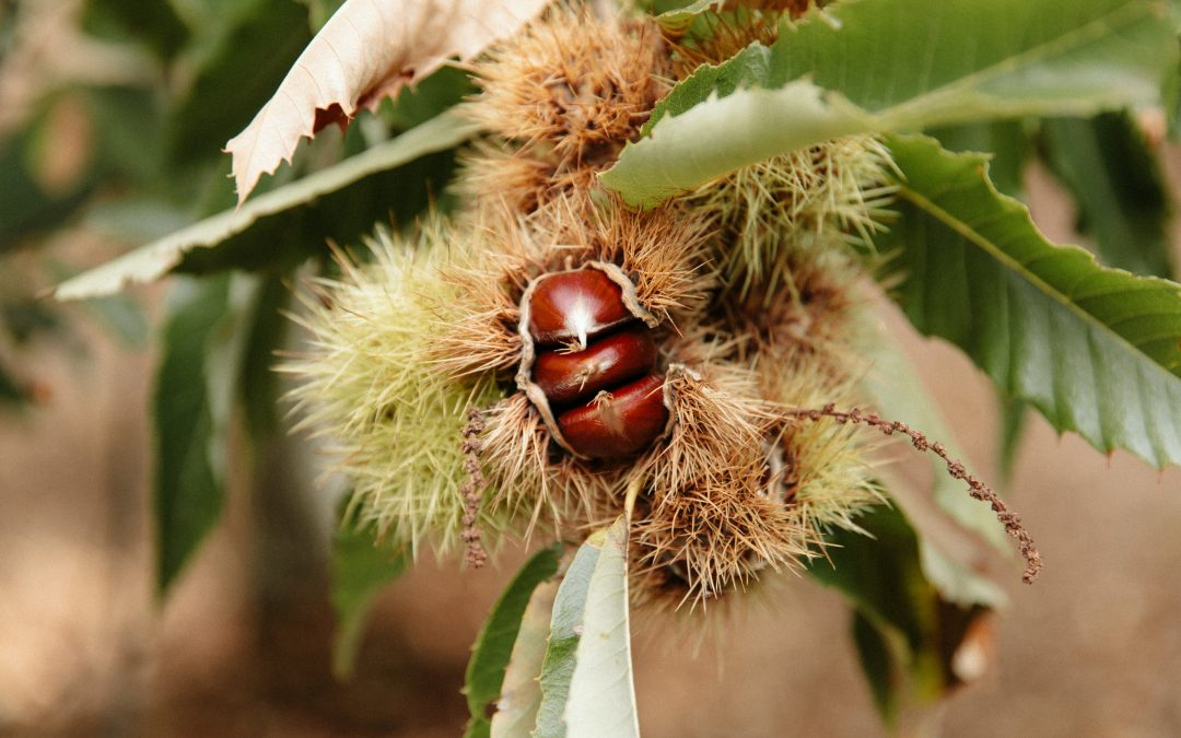 Chestnuts In Asia